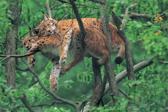 Two leopards laying on top of one another asleep on a tree limb