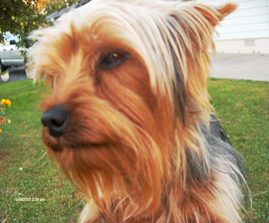 photo of a grown yorkshire terrier